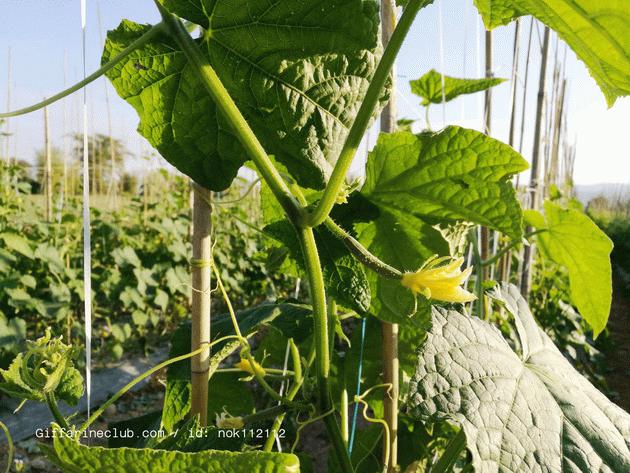 ปุ๋ยกิฟฟารีน,ปุ๋ยแตงกวา กิฟฟารีน,กิฟฟารีน ปลูกพืชฤดูหนาว,วิธีการปลูกพืช ฤดูหนาว,ปลูกแตงกวา ฤดูหนาวทำอย่างไร
